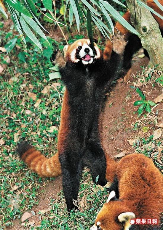 red panda standing. This red panda always uses two