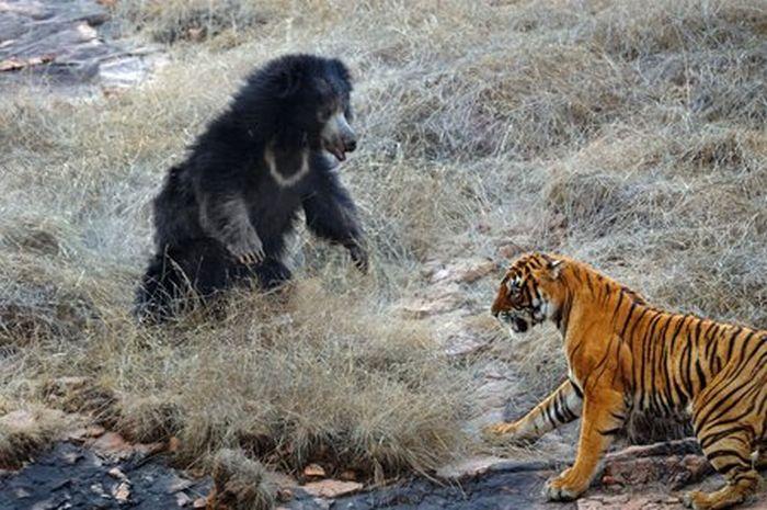 bengal tiger vs polar bear who would win